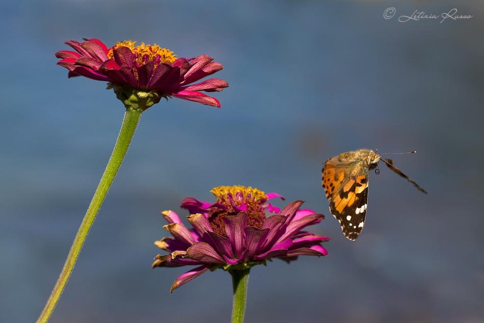 Farfalla x juza